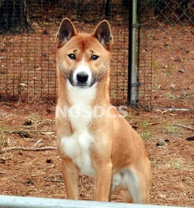 Photo Courtesy: New Guinea Singing Dog Conservation Society