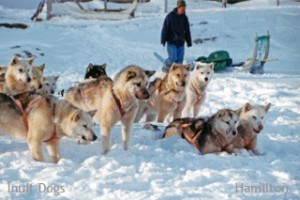 Inuit Dogs from the Disko Bay region, near Ilulissat, Greenland. Inuit Dogs from Canada and Greenland have been proven to be the same landrace. Photo: Hamilton