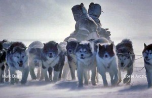 A fan hitch team of aboriginal Inuit Dogs in Arctic Canada Photo: Corel Arctic