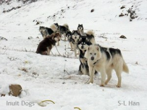 Inuit Dogs from south Baffin Island, Nunavut Canada Photo: S-L Han