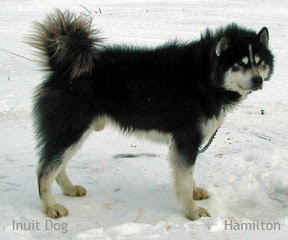 Pingo, a male Inuit Dog from south Baffin Island, Canada                                                                                                  Photo: Hamilton