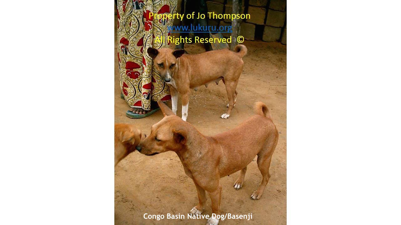 Central African Village Dog Jo Myers Thompson