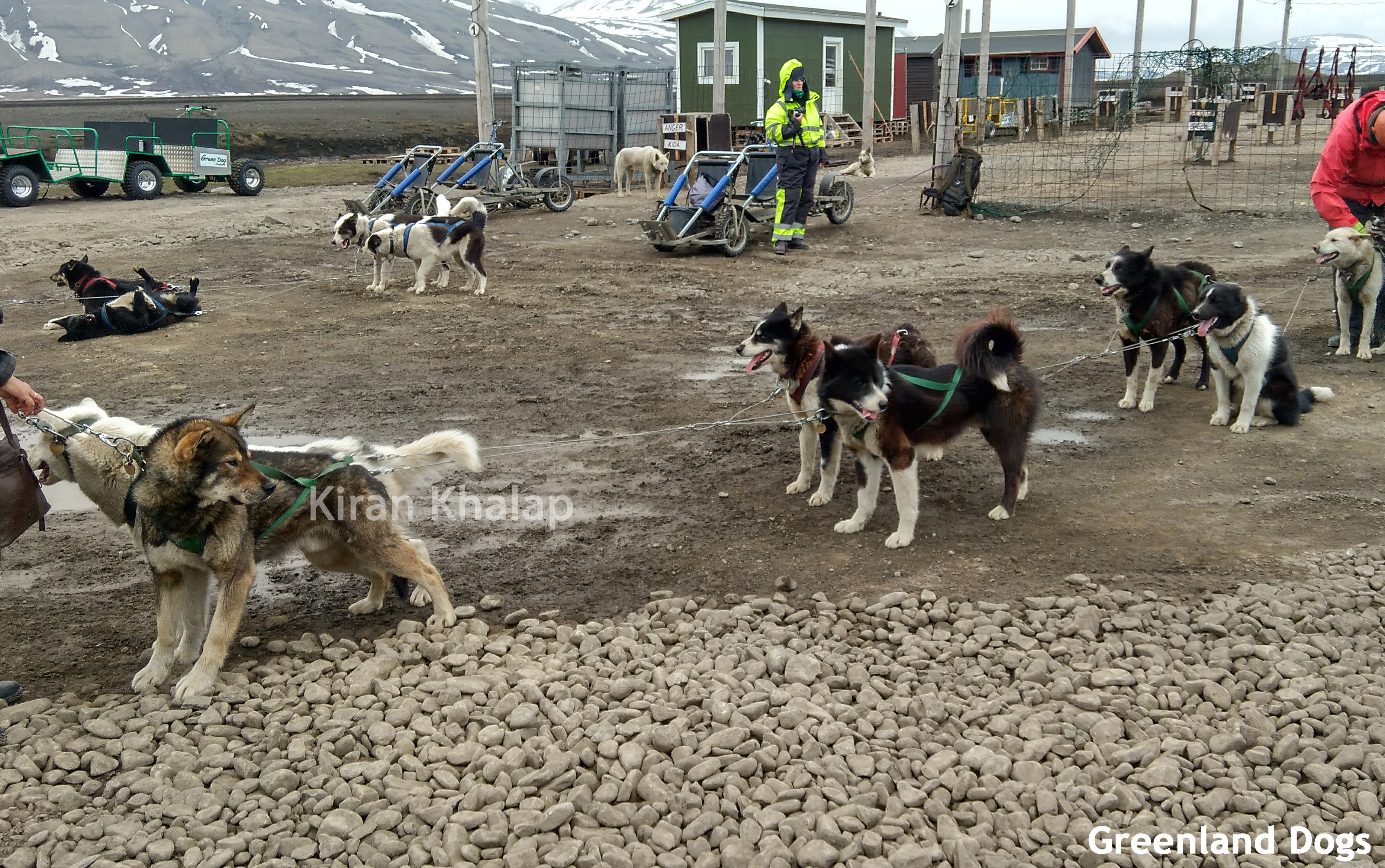 greenland dog team